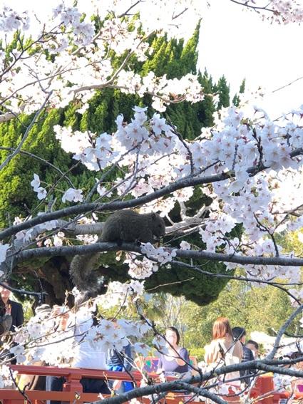 鎌倉の桜とリス